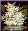 Delicious Cheese Candy Auto Fem 5 Cannabis Seeds